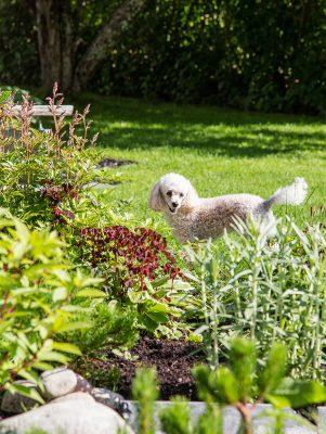 koira puutarhassa