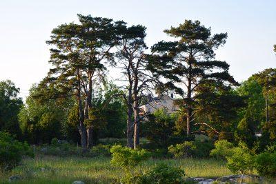 Uljaat männyt reunustavat niittymaisemaa. Mäntyjen takaa näkyy sairaalan päärakennus.