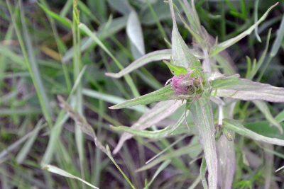 Peltomaitikka kukkii heinä–elokuussa. Kuvassa kasvi on vielä nupussa.