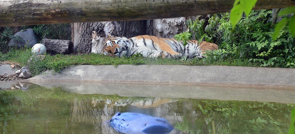 Korkeasaari ja sen tiikeri